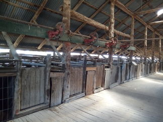 At its peak the shearing shed catered for 18 shearers who shore 50,000 by hand.